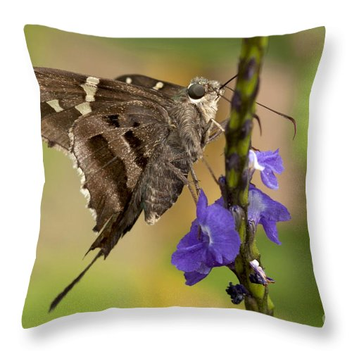Long-tailed Skipper Throw Pillow featuring the photograph Long-tailed Skipper Photo by Meg Rousher