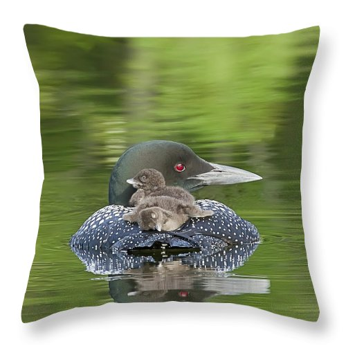 Common Loon Throw Pillow featuring the photograph Loon Chicks - Nap Time by John Vose