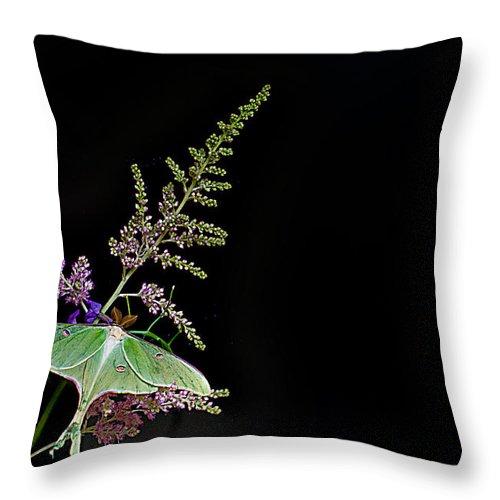 Luna Moth Throw Pillow featuring the photograph Luna Moth Astilby Black Background by Randall Branham