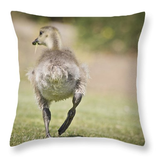 Goose Throw Pillow featuring the photograph Lunch On The Run by Priya Ghose