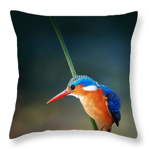 Wild; Wildlife; Animal; Bird; African; Africa; Safari Animals; Wilderness; Nature; Outdoor; Nobody; Kruger; National; Park; Kingfisher; Malachite; Alcedo; Cristata; Portrait; One; Sit; Perch; Rest; Cling; Branch; Side; View; Reed; Exotic; Colour; Colourful; Color; Colorful; Feather; Orange; Blue; Red; Small; Sharp; Bill; Beak; Long Throw Pillow featuring the photograph Malachite Kingfisher by Johan Swanepoel