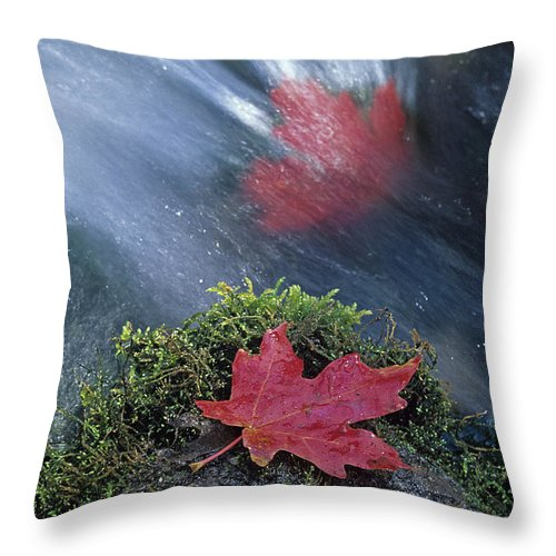 Maple Leaves Throw Pillow featuring the photograph Maple Leaves by Susan Rovira