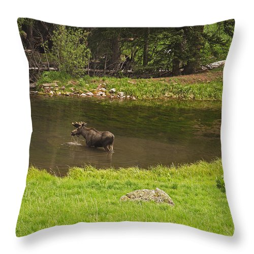 Moose Throw Pillow featuring the photograph Maroon Bells Moose by Kelly Black