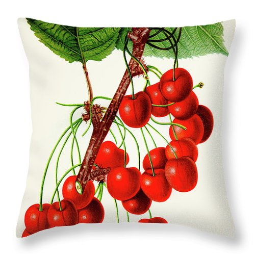Engraving Throw Pillow featuring the digital art Mercer Cherry Illustration 1892 by Thepalmer