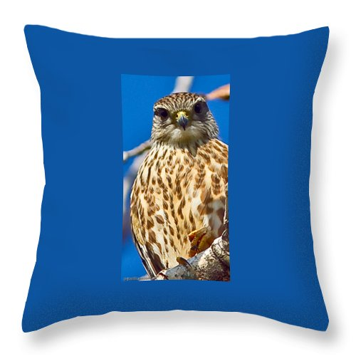 Falcon Throw Pillow featuring the photograph Merlin Falcon by Brian Williamson