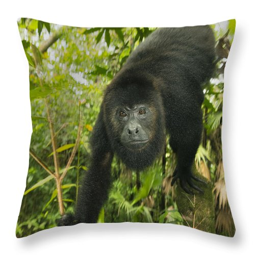 Kevin Schafer Throw Pillow featuring the photograph Mexican Black Howler Monkey Belize by Kevin Schafer