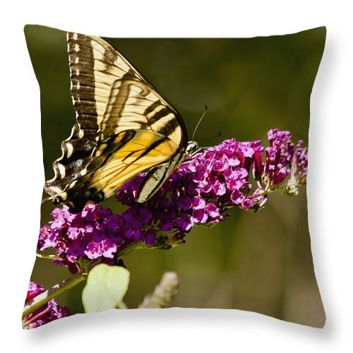 Butterfly Throw Pillow featuring the photograph Monarch Butterfly 3 by Dennis Coates