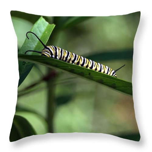 Insects Throw Pillow featuring the photograph Monarch Caterpillar by William Morgan