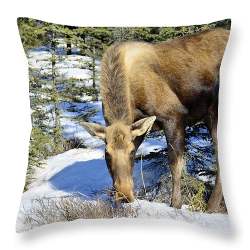 Alaskan Moose Throw Pillow featuring the pyrography Moose Connection by Debra Miller
