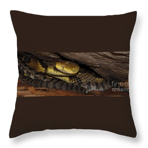 Newborn Timber Rattlesnakes Mother Rattlesnake Baby Timber Rattlesnakes Appalachian Vipers Appalachian Rattlesnakes North American Venomous Snakes Norht American Pit Vipers Preserve Biodiversity Of Life Endangered Species Rare Wildlife Rare Snakes Rare Reptiles Throw Pillow featuring the photograph Mother Snake by Joshua Bales