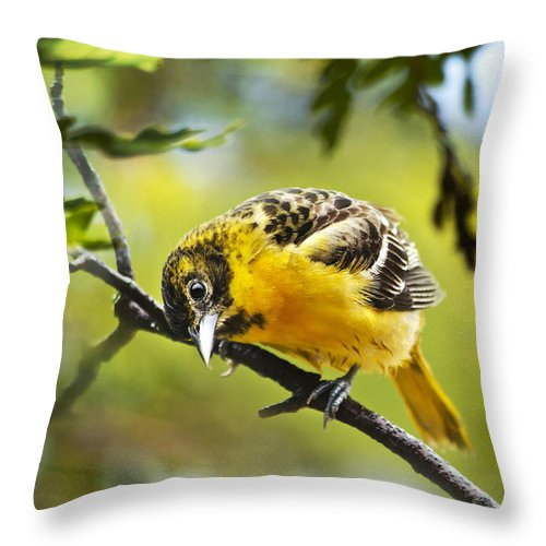 Oriole Throw Pillow featuring the photograph Musing Baltimore Oriole by Christina Rollo