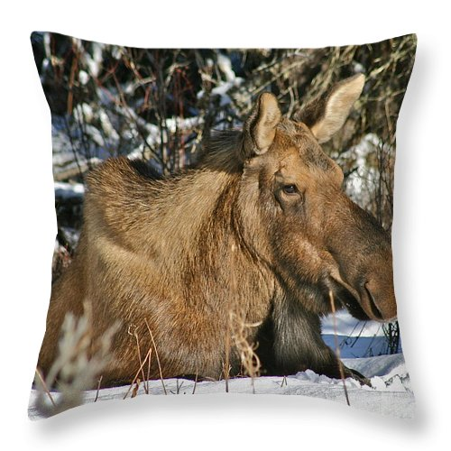 Moose Throw Pillow featuring the photograph Nap Time by Rick Monyahan