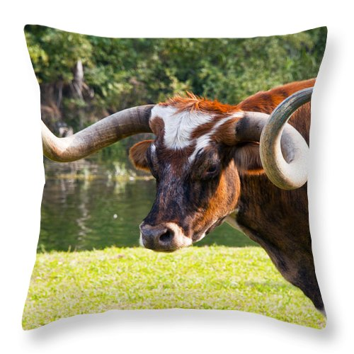 Chisholm Trail Days Georgetown Texas Longhorn Longhorns Cattle Animal Animals Creature Creatures Throw Pillow featuring the photograph Natural Curls by Bob Phillips
