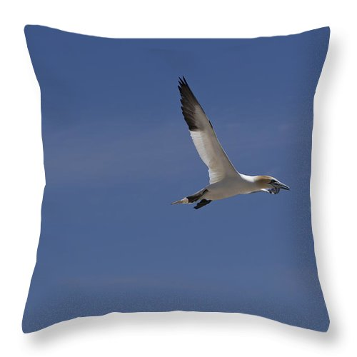 Animals In The Wild Throw Pillow featuring the photograph Northern Gannet by Joel Bourgoin