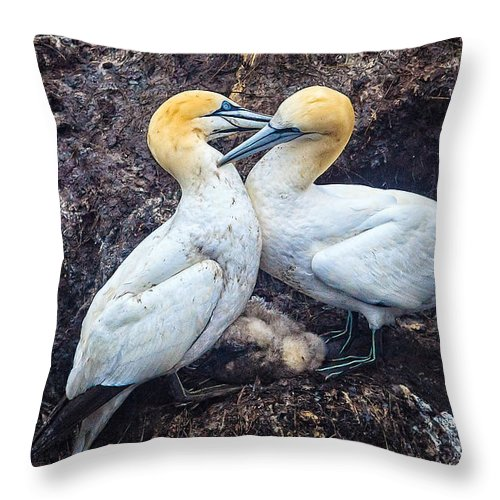 Northern Gannet Throw Pillow featuring the photograph Northern Gannets And Chick 2 by Perla Copernik