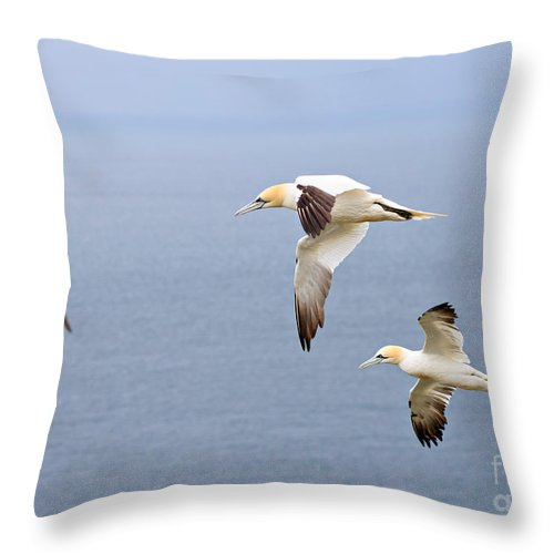 Gannets Throw Pillow featuring the photograph Northern Gannets In Flight by Louise Heusinkveld