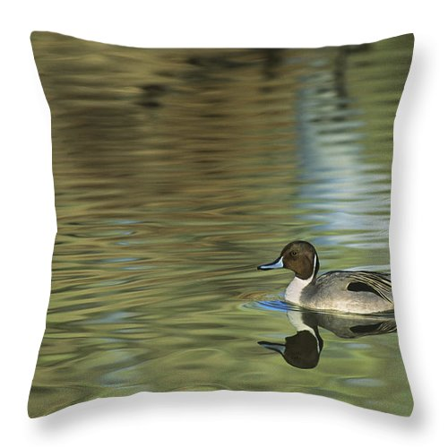 North America Throw Pillow featuring the photograph Northern Pintail In A Quiet Pond California Wildlife by Dave Welling