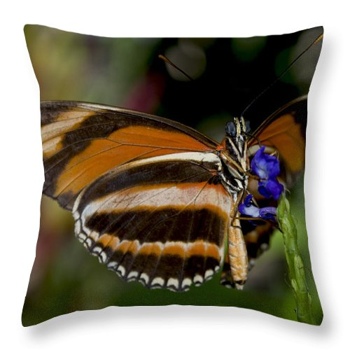 Orange Butterfly Throw Pillow featuring the photograph Orange Banded Butterfly by Heather Applegate