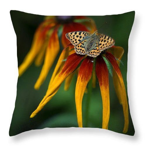 Macro Throw Pillow featuring the photograph Orange Butterfly With Black Dots Sitting Onthe Red And Yellow Long Petaled Flowers by Jaroslaw Blaminsky