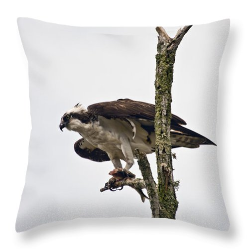 Osprey Throw Pillow featuring the photograph Osprey With Fish 2 by Dennis Coates