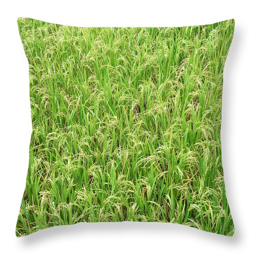 Paddy Field Throw Pillow featuring the photograph Paddy Field by Yew Kwang