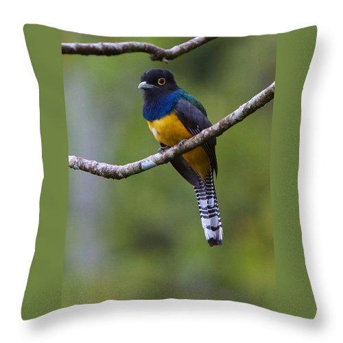 Honduras Throw Pillow featuring the photograph Panacam Gartered Trogon by David Beebe