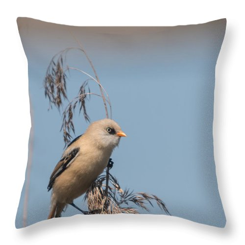 Bulgaria Throw Pillow featuring the photograph Perched Bearded Reedling Juvenile by Jivko Nakev