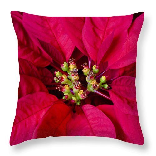 Poinsettias Throw Pillow featuring the photograph Perfect Poinsettias by Rich Franco