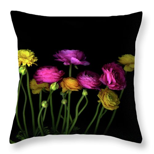 Black Background Throw Pillow featuring the photograph Persian Buttercups Ranunculus Asiaticus by Photograph By Magda Indigo