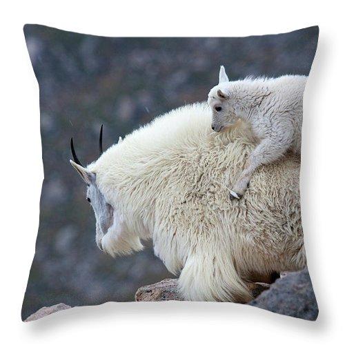 Mountain Goats Print Throw Pillow featuring the photograph Piggyback Ride by Jim Garrison
