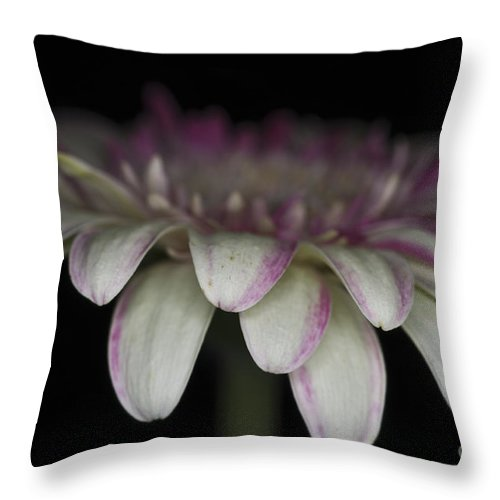 Pink Gerbera Flower Throw Pillow featuring the photograph Pink And White Gerbera 3 by Steve Purnell