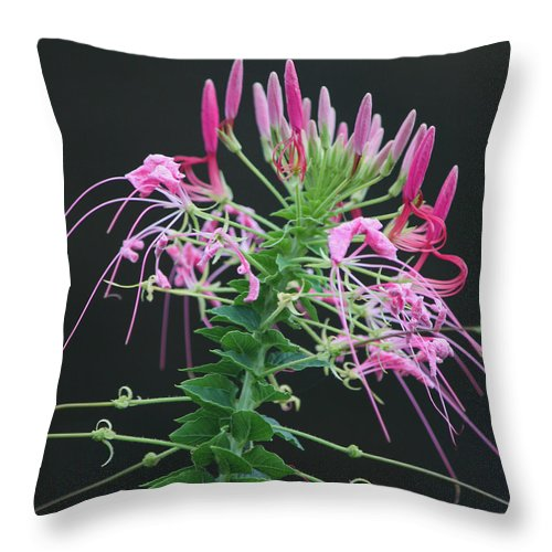 Photograph Throw Pillow featuring the photograph Pink Bloom Squared by Suzanne Gaff