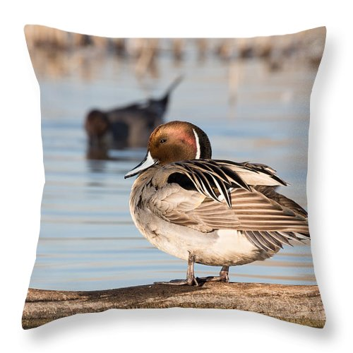 Northern Throw Pillow featuring the photograph Pintail Drake Taking A Break by Kathleen Bishop