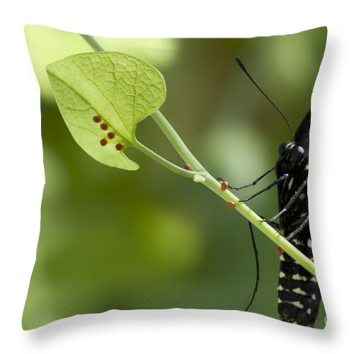 Pipevine Swallowtail Throw Pillow featuring the photograph Pipevine Swallowtail Mother With Eggs by Meg Rousher