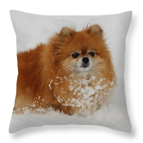 Pomeranian Throw Pillow featuring the photograph Pomeranian In Snow by John Shaw