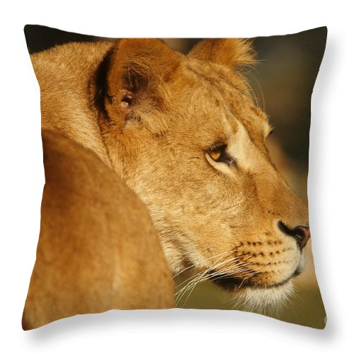 Portrait Throw Pillow featuring the photograph Portrait Of A Dreamy Lioness by Nick Biemans
