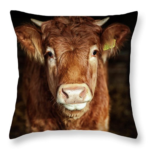 Domestic Animals Throw Pillow featuring the photograph Portrait Of Young Cow by T-lorien