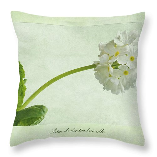 White Drumstick Primula Throw Pillow featuring the photograph Primula Denticulata Alba by John Edwards