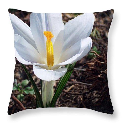 Crocus Kotschyanus Throw Pillow featuring the photograph Pristine White Crocus by Kathy Clark