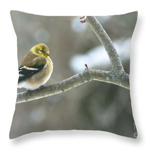 Landscape Throw Pillow featuring the photograph Proud Finch by Cheryl Baxter