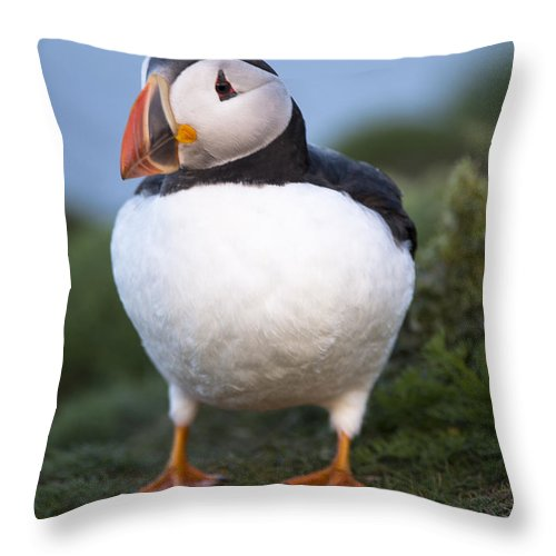 Puffin Throw Pillow featuring the photograph Puffy Little Puffin by Jennifer LaBouff