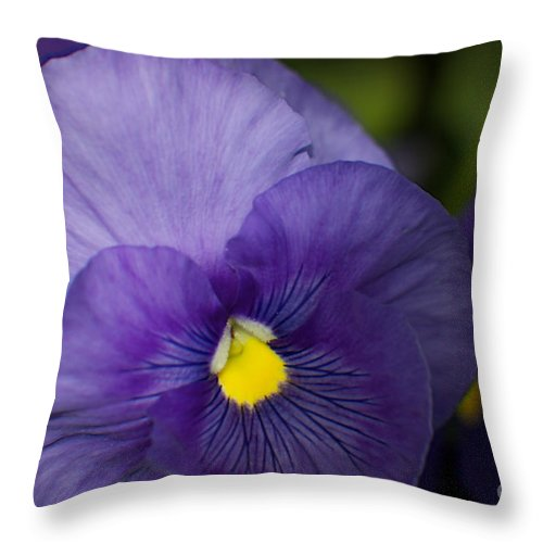 Petunia Throw Pillow featuring the photograph Purple Petunia by June Hatleberg Photography