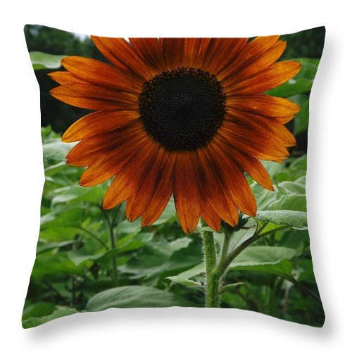 Sun Flower Throw Pillow featuring the photograph Radiant Sunflower by Gerald Strine