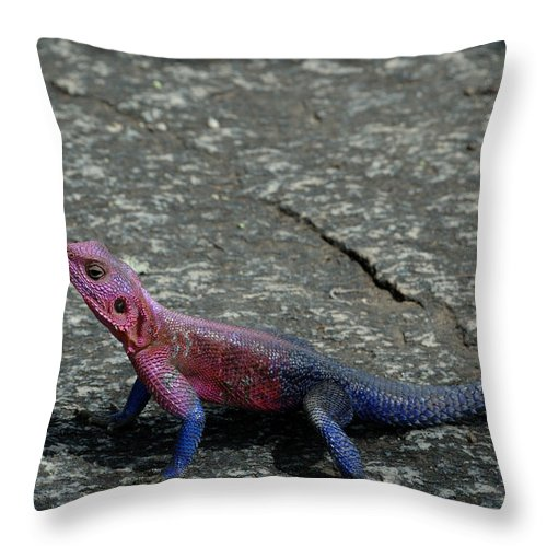 Agama Agama Throw Pillow featuring the photograph Red And Blue by Ian Ashbaugh