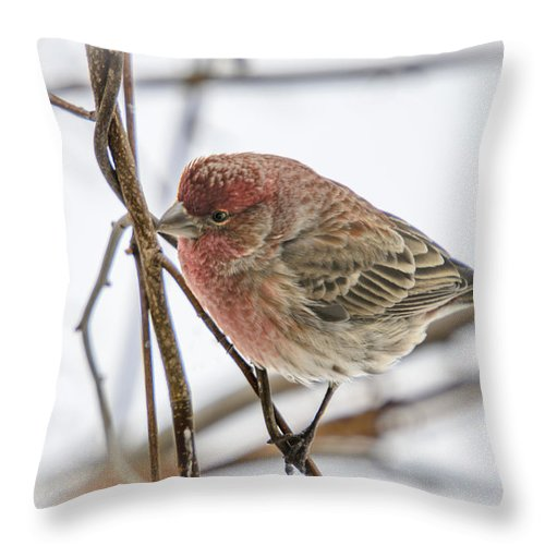 Animals Throw Pillow featuring the photograph Red Finch by LeeAnn McLaneGoetz McLaneGoetzStudioLLCcom