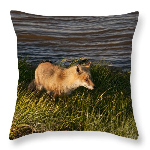 Fox Throw Pillow featuring the photograph Red Fox Hunting The Edges At Sunset by Timothy Flanigan and Debbie Flanigan Nature Exposure