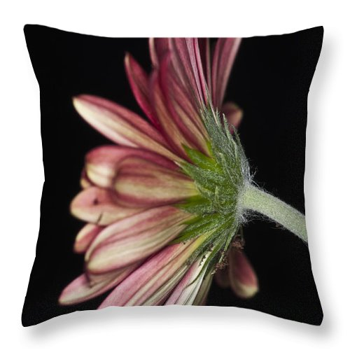 Red Gerbera Flower Throw Pillow featuring the photograph Red Gerbera 5 by Steve Purnell
