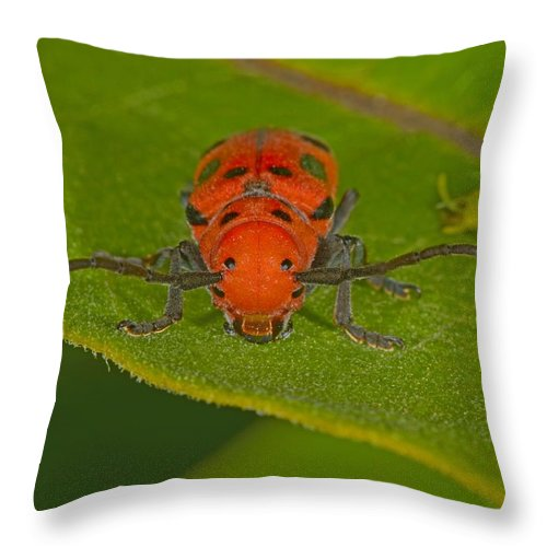 Tetraopes Tetrophthalmus Throw Pillow featuring the photograph Red Milkweed Beetle by Tony Beck