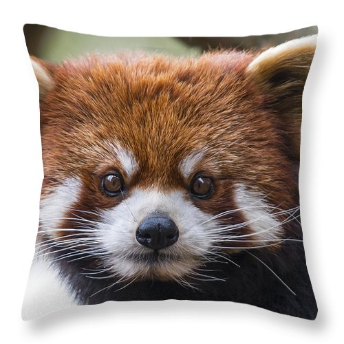 Red Panda Throw Pillow featuring the photograph Red Panda by Phil Abrams