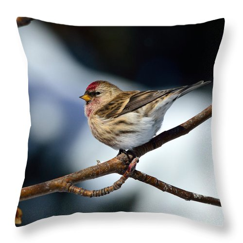Common Throw Pillow featuring the photograph Red Poll by Brad Christensen